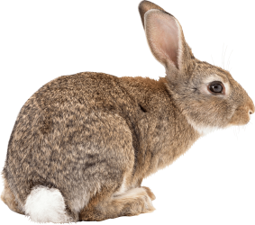 brown-rabbit-sideview